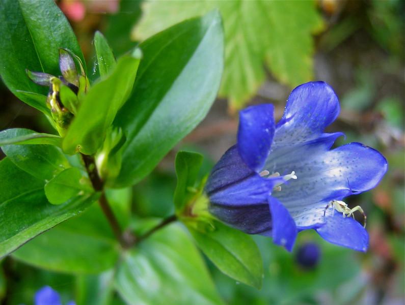 Mountain bog gentian, Gentiana calycosa