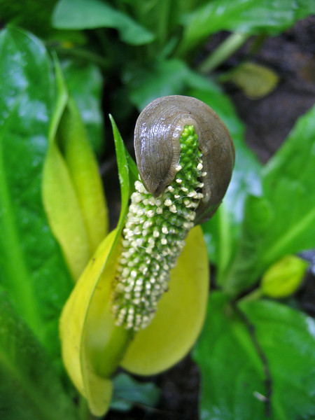 Skunk Cabbage, Lysichiton americanus