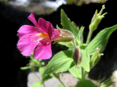 Pink Monkeyflower, Erythranthe lewisii