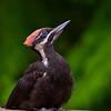 Pileated Woodpecker Juvenile-Edmonds,Wa-S