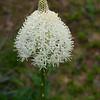 Bear Grass flower-Mt.Rainier-S