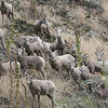 Rocky Mountain Sheep, Montana