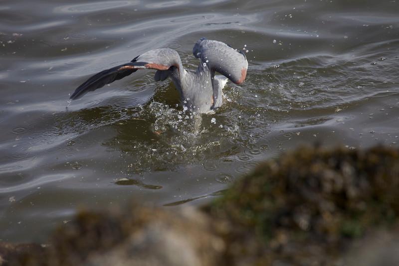 Great Blue Heron, going deep