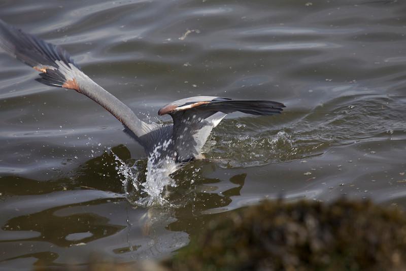Great Blue Heron, The Strike