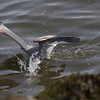 Great Blue Heron, The Strike