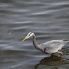 Great Blue Heron, Fishing on Puget Sound