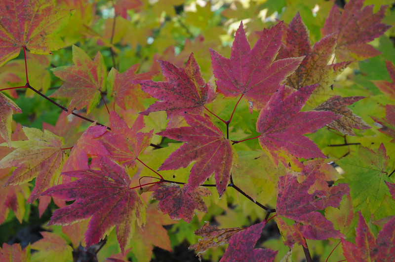 Kaleidoscope Vine Maple