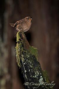 A tiny woodland bird who has an elaborate song
