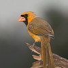 Northern Cardinal yellow morph