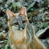 Grey Fox female