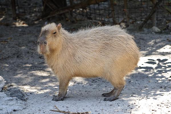 Capybara (giant rodent)