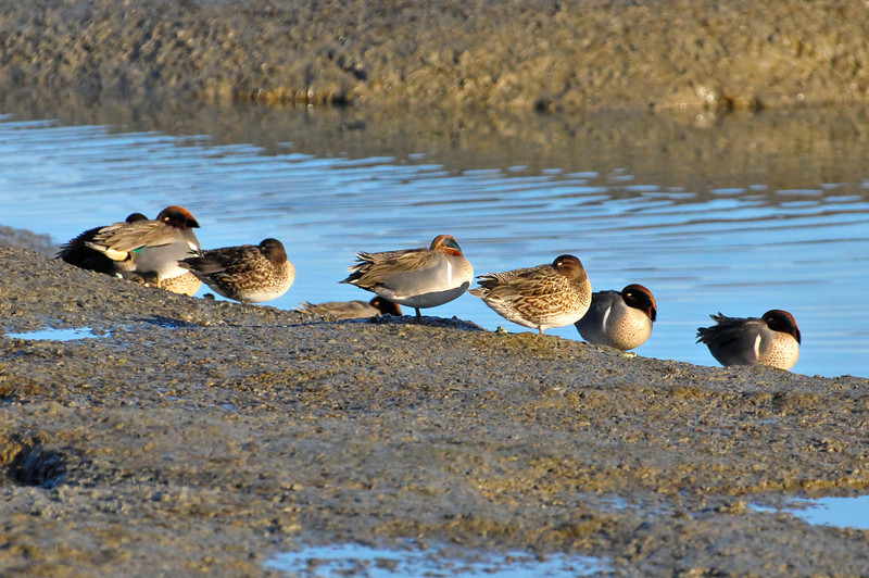 Sleeping in a Row.  Mallards catching an early snooze at the Palo Alto Baylands.  D3X8581
