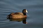 Coot in the water_D3X8794