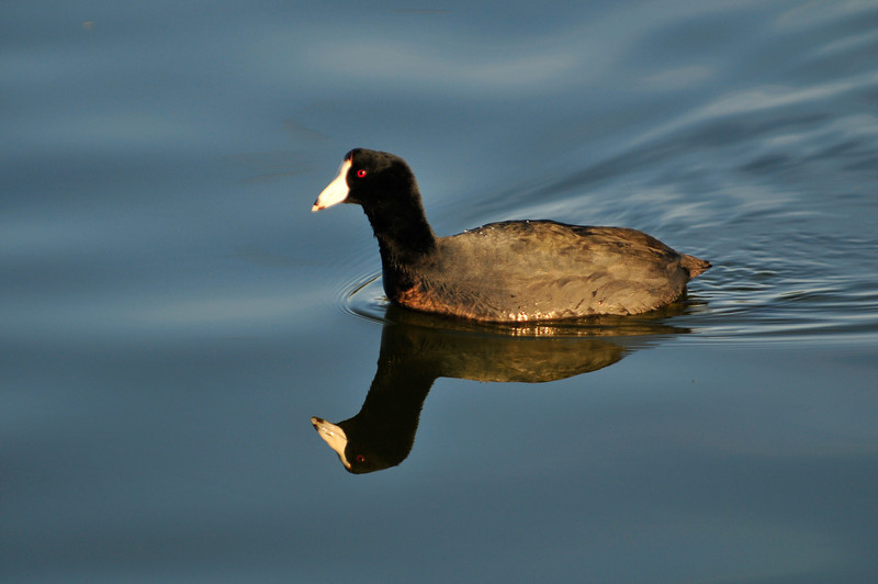 Coot Swimming Along. D3X8751