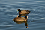 Pair of Coots _D3X8786