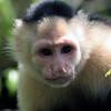 Monkey_Capuchin