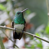 Hummingbird - snowy-bellied