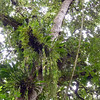 Rainforest tree with epiphytes- Quetzales Trail- Volcan