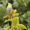 Flycatcher - long-tailed silky