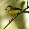 Redstart - collared