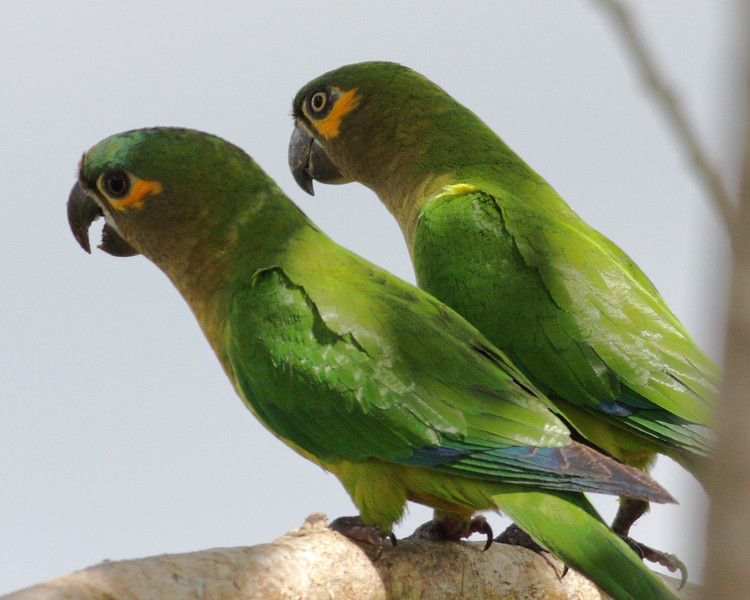 Parakeet - brown throated2