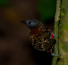 We believe this to be a Spotted Antbird.  Photo taken on Plantation Trail, Gamboa, Panama.  Someone must be conducting studies of these birds as noted by the bands on his legs.