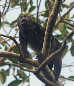 Howler Monkey, Pipeline Trail
