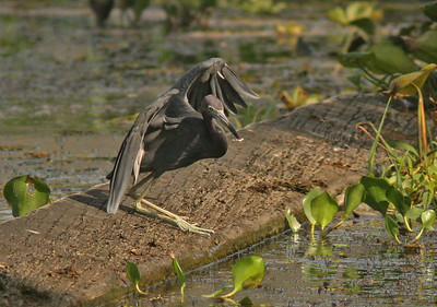 Little Blue Heron with fish, Chagres River