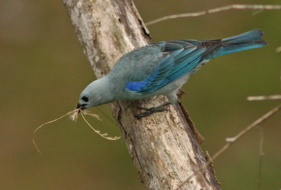 Blue-grey Tanager with nesting material