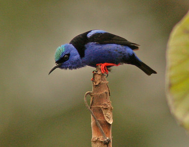 Red-legged Honeycreeper in breeding plumage