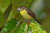 Lemon-rumped Tanager female, Canopy Lodge, El Valle de Antón, Coclé Province, Panama