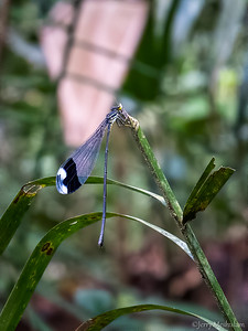 Helicopter Damselfly
