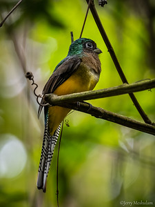 Black-throated Trogan