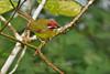 Rufous-capped Warbler, Canopy Lodge, El Valle de Antón, Coclé Province, Panama