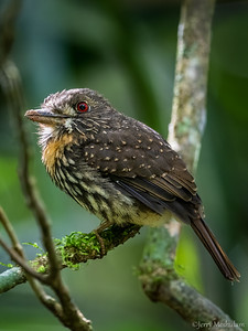 White-wiskered Puffbird