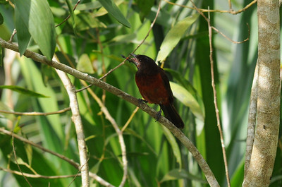 Rosy-thrush tanager