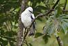 White Hawk, Canopy Lodge, El Valle de Antón, Coclé Province, Panama