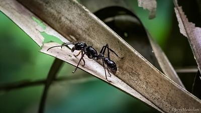 Bulltet Ant