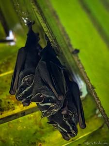 Tent-making Bats