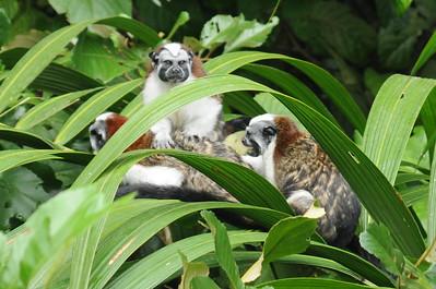Geoffroy's tamarin