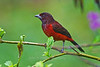 Crimson-backed Tanager female, Canopy Lodge, El Valle de Antón, Coclé Province, Panama