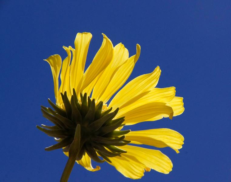 Panamint Daisy against the sky