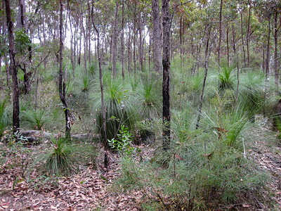 Grass Tree (Genus: Xanthorrhoea) (Family: Xanthorrhoeaceae) - Banksia Track - Raven Street Reserve - Raven St Reserve & Milne Hill Reserve; West Chermside, Brisbane, Queensland, Australia; 03 October 2012. Photos by Des Thureson