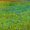 Texas wildflowers, Washington County