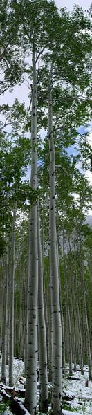 Aspen trees near Aspen, Colorado