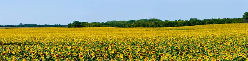 Finally Got my Sunflower field