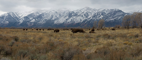 Buffalo, Tetons National Park, WY, 2398-2402