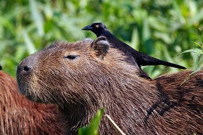 Capybara with cleaning bird