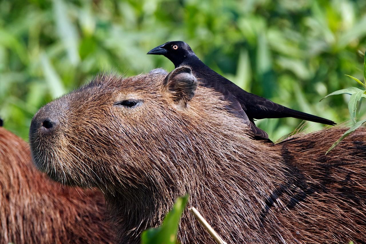 Capybara with cleaning bird