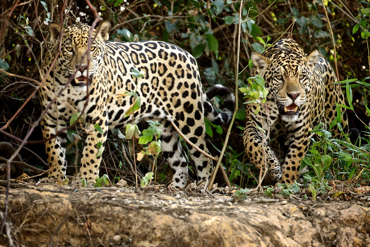 Two Jaguar Brothers
